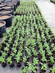 Tomato seedlings 7 April 2014